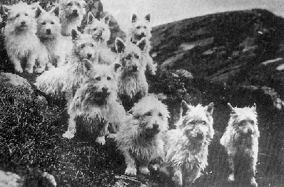 Origini del west highland terrier